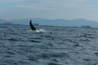 One of many breeches we saw on the Pureto Valertta Whale Watch excursion.