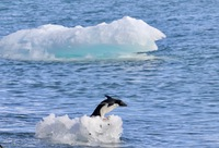 Adelie penguin on an ice berg