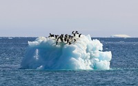 Adelie penguins floating by on an iceberg