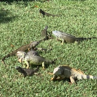 Iguanas on the loose. They are fast. Key West on and off tram