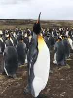 Well, it is turned sideways! It is a King Penguin at the Bluff Cove sanctua