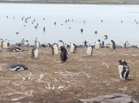 So many Penguins! Bluff Cove sanctuary