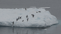 Penguins Jumping On Iceberg