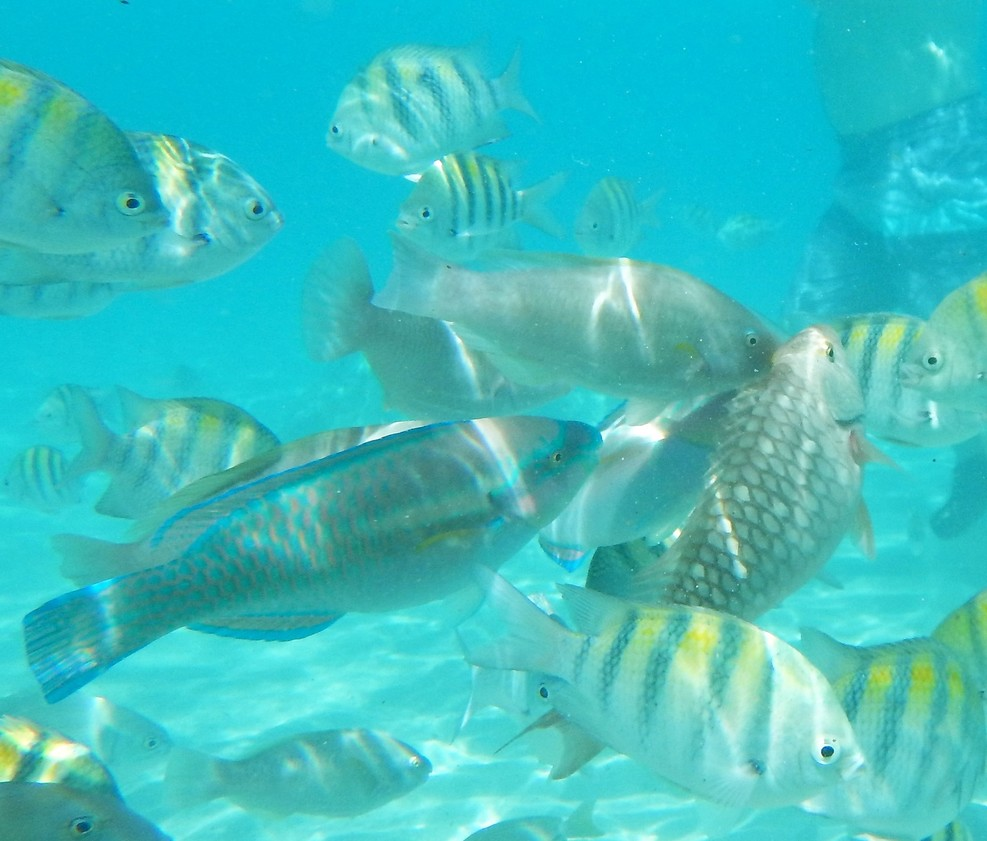 Fish we fed at Coki Pointe St Thomas close to shore