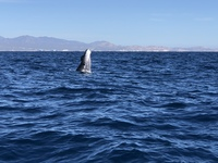 Cabo San Lucas- whale watching
