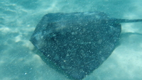 Stingray at Stingray City at Grand Caymen