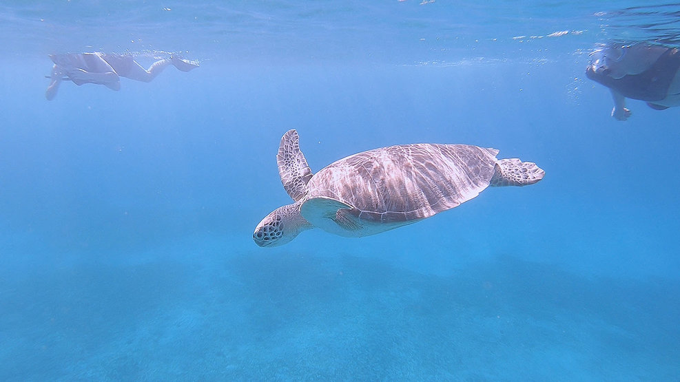Sea turtles at Turtle Bay, St. Thomas