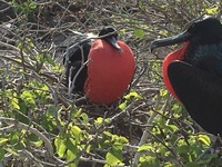 Two male Galapagos Frigate Birds trying to attract a female.
