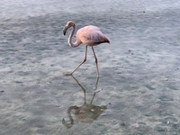 Floreana Flamingo looking for food in a very salty pond.