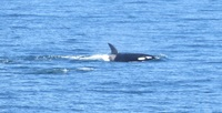 Photo of Orca taken from the cruise ship.