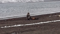 A seal lazing on the beach in Deception Island