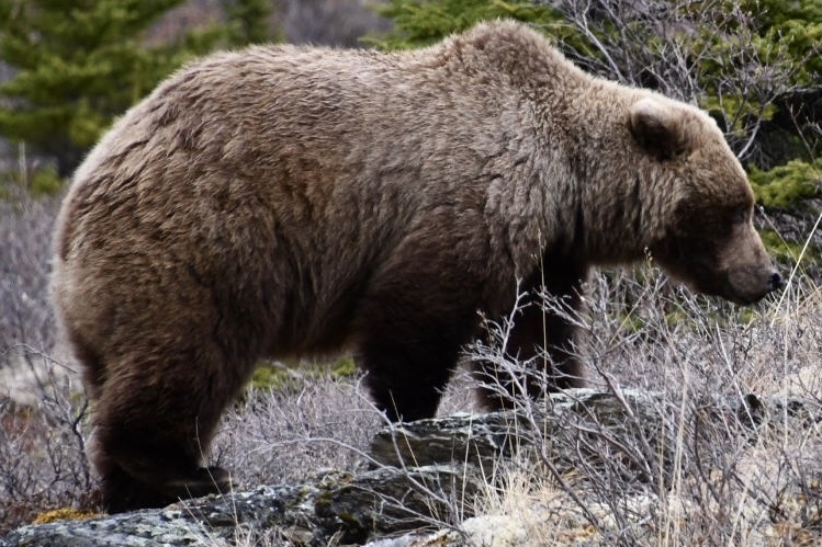 Grizzly in Denali National Reserve.