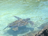 Sea turtles at Carlsmith Beach, Hilo.