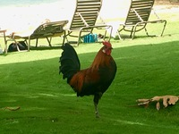 One-legged rooster in Kauai on the beach. He came to speak. Wild chickens e