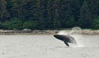 Humpback whale, 50 feet long, breaching, Morris Reef in Chatham Strait, fro