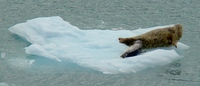 Seals on ice flow in Hubbard Glacier bay