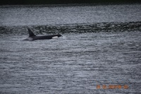 Orca spotted on Misty Fjords excursion