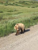 A mama bear (two cubs were following) strolling by our Kantishna bus tour i