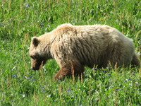 Grizzly Bear - Land Portion - Denali National Park