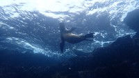 Swimming with sea lions during deep water snorkeling