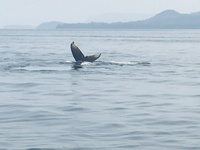 Whale Watch ... Juneau (baby tail)