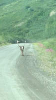 Caribou seen on our Denali bus tour included with Princess land excursion.