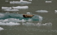 Seal on ice in Tracy Arm Fjord