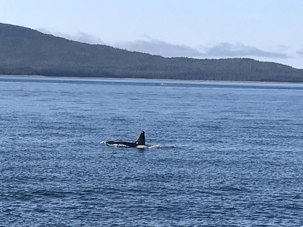 Orca seen on whale watching excursion in Juneau