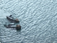 Sea otters in Seward. While dining at Rays the night before the cruise