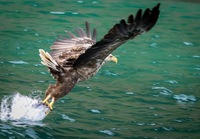 Sea eagle coming down for a fish! This was our rib boat excursion to find s