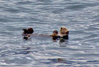 Sea otter as seen from just outside our stateroom.