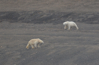 We went on the cruise to see polar bears -- and wonderfully we saw an encou