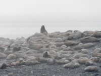 Sea lions near Juneau