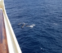 Dolphins swimming near the ship