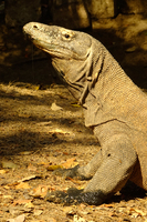 Komodo Dragon in Rinca Island.