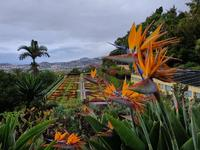 Lovely Birds of Paradise plants in the Botanical Gardens in Funchal, Madeir