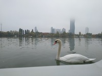 A swan just outside my stateroom window, with the Tower of Mordor in the ba