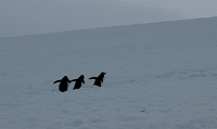 Gentoo Penguins walking