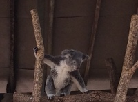 Seeing and holding koalas
