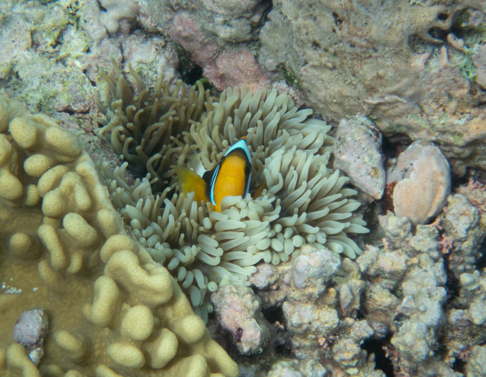 Clown fish safe in the anemone