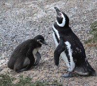 Mom and baby penguin on extra excursion at Puerto Madryn
