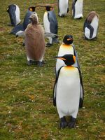 King Penguins and Chicks at Vounteer Point in the Falkland Islands.