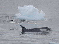 This is an Orca .  Other whales actually surfaced right beside the zodiacs