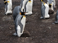 Falkland Islands, Blue Lagoon Penguin Safari, King Penguin